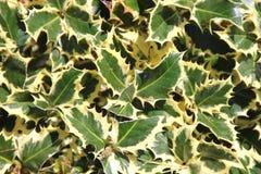 Aquifolium & x27 Ilex Variegata& x27 , Διαφοροποιημένος αγγλικός ιερός Στοκ φωτογραφία με δικαίωμα ελεύθερης χρήσης
