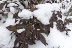 Aquifolium Mahonia κάτω από το χιόνι μια χειμερινή ημέρα Στοκ φωτογραφία με δικαίωμα ελεύθερης χρήσης