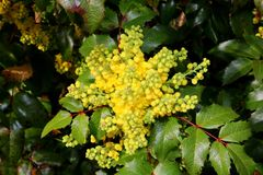 Aquifolium Mahonia, κίτρινο άνθος την άνοιξη, λεπτομέρεια Στοκ Εικόνα