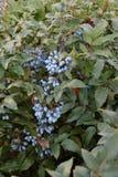 Aquifolium Mahonia μούρων Στοκ εικόνα με δικαίωμα ελεύθερης χρήσης