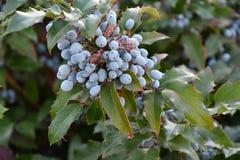 Aquifolium Mahonia μούρων Στοκ φωτογραφίες με δικαίωμα ελεύθερης χρήσης