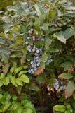Aquifolium Mahonia μούρων Στοκ Φωτογραφίες