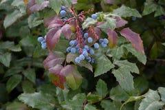 Aquifolium Mahonia μούρων Στοκ φωτογραφία με δικαίωμα ελεύθερης χρήσης