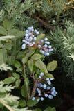 Aquifolium Mahonia μούρων Στοκ Εικόνα