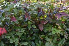 Aquifolium Mahonia μούρων Στοκ εικόνες με δικαίωμα ελεύθερης χρήσης