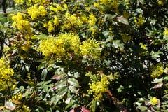 Aquifolium Mahonia στην άνθιση την άνοιξη Στοκ εικόνα με δικαίωμα ελεύθερης χρήσης