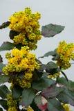 Aquifolium Mahonia Στοκ Φωτογραφίες