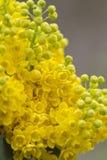 Aquifolium Mahonia Στοκ φωτογραφίες με δικαίωμα ελεύθερης χρήσης