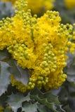 Aquifolium Mahonia Στοκ Εικόνες