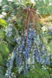Aquifolium Mahonia Στοκ Εικόνα