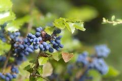 Aquifolium Mahonia Mahonie- Στοκ εικόνες με δικαίωμα ελεύθερης χρήσης