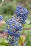 Aquifolium Mahonia Mahonie- Στοκ Φωτογραφίες