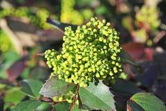 Aquifolium Mahonia Winterberry Στοκ εικόνες με δικαίωμα ελεύθερης χρήσης