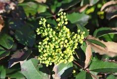 Aquifolium Mahonia Winterberry Στοκ εικόνα με δικαίωμα ελεύθερης χρήσης