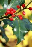 Aquifolium van Ilex, hulst Stock Foto's