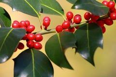 Aquifolium van Ilex, hulst Stock Afbeelding