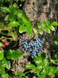 Aquifolium van Mahonia Stock Fotografie