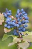 Aquifolium van Mahonia van Mahonie- Stock Afbeelding