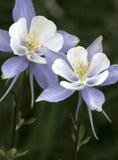 2 aquilégias azuis (coerulea de Aquilegia) Fotos de Stock
