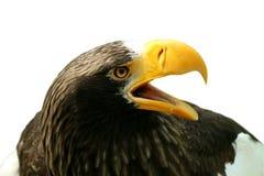 Aquila Fotografia Stock Libera da Diritti