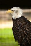 Aquila americana Immagine Stock