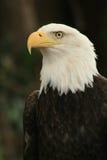 Aquila americana 2 Immagini Stock