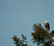 Aquila americana fotografia stock libera da diritti