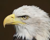 Aquila calva fotografie stock