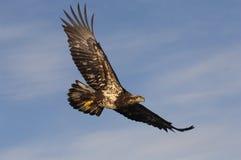 Aquila calva fotografia stock libera da diritti