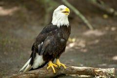 Aquila calva Fotografie Stock Libere da Diritti