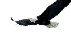 Aquila calva (22 anni) Fotografie Stock