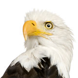 Aquila calva (22 anni) - leucocephalus del Haliaeetus Immagini Stock Libere da Diritti