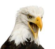 Aquila calva (22 anni) - leucocephalus del Haliaeetus Fotografia Stock Libera da Diritti