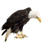 Aquila calva (22 anni) - leucocephalus del Haliaeetus Immagini Stock