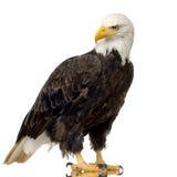 Aquila calva (22 anni) - leucocephalus del Haliaeetus Immagine Stock