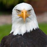 Aquila calva Immagine Stock