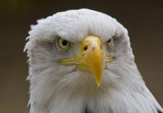 Aquila calva Immagini Stock Libere da Diritti
