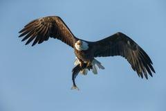 Aquila calva Immagine Stock Libera da Diritti