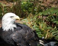 Aquila calva. Immagine Stock