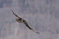 Aquila calva acerba durante il volo Fotografie Stock Libere da Diritti