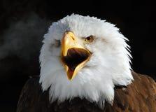 Aquila calva americana Immagine Stock