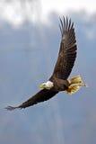 Aquila calva americana Immagine Stock Libera da Diritti