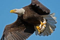 Aquila calva americana immagini stock