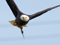Aquila calva americana fotografie stock