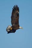 Aquila calva americana durante il volo Immagine Stock
