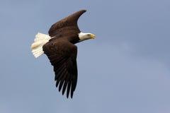 Aquila calva americana durante il volo fotografia stock