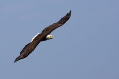 Aquila calva americana durante il volo Immagini Stock