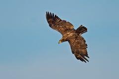 Aquila calva americana giovanile Fotografia Stock Libera da Diritti