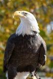 Aquila calva americana (leucocephalus del Haliaeetus) Immagini Stock