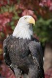 Aquila calva americana (leucocephalus del Haliaeetus) Immagine Stock